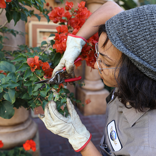 Horticulture Team Member prunes flowering plants in large terra cotta containers