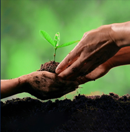two hands planting a sapling