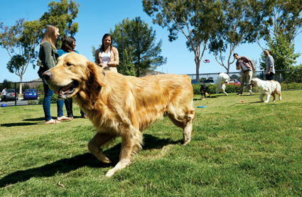 One of Petco's on-site dog parks, with a happy Golden Retriever in the foreground, and lots of dogs and people in the background.