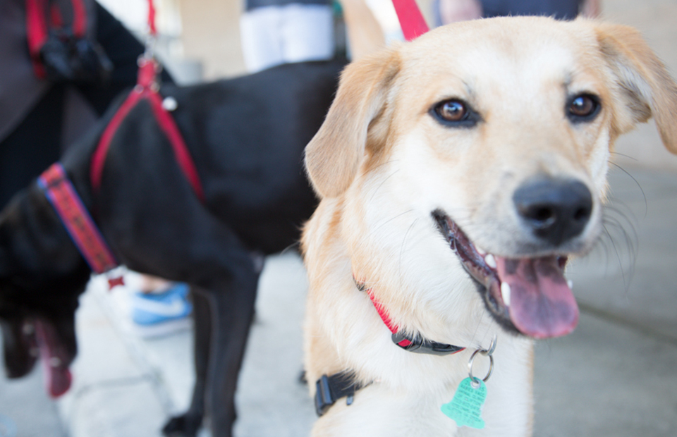 A yellow lab and a black lab at an adoption event, eager to land in their forever homes.
