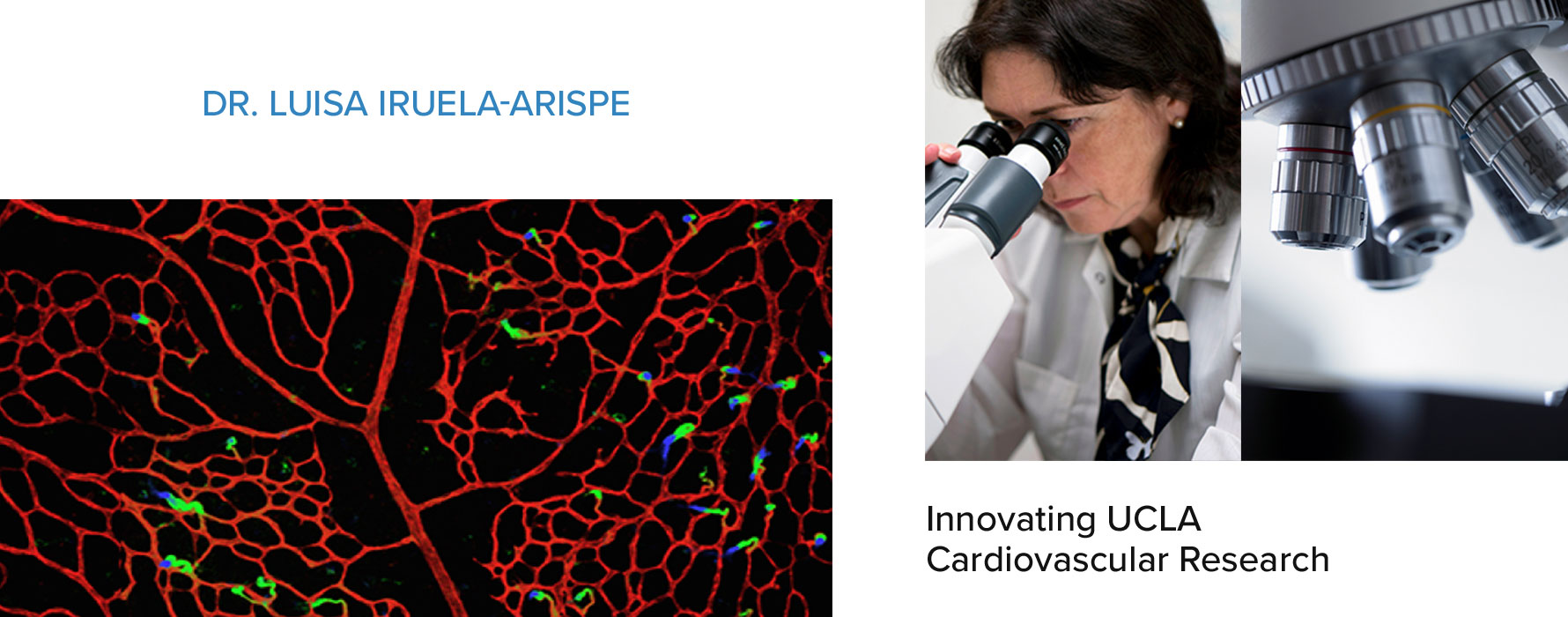 Dr. Luisa Iruela-Arispe, Innovating UCLA Cardiovascular Research