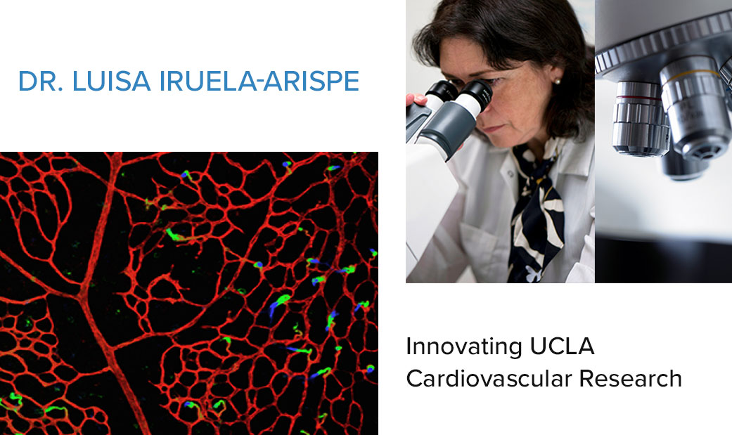 Dr. Luisa Iruela-Arispe: Innovating UCLA Cardiovascular Research